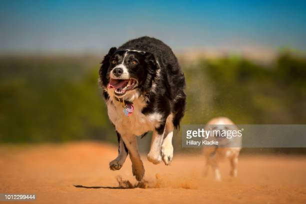 two dogs running on red sand - chihuahua desert stock pictures, royalty-free photos & images