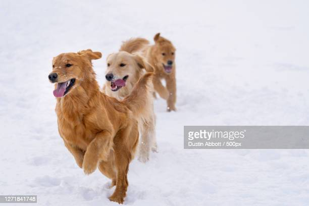 two dogs running on snow, petawawa, canada - images stock pictures, royalty-free photos & images