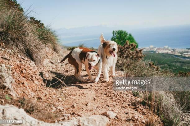 two dogs running on trail overlooking mediterranean coast on sunny day - american bulldog stockfoto's en -beelden