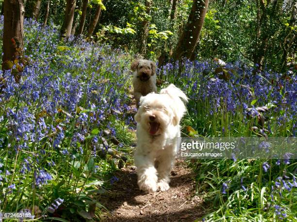 Two dogs running through woods full of bluebells Cornwall UK