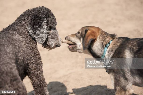 two dogs running with a stick outside in the dirt. - istock stock-fotos und bilder