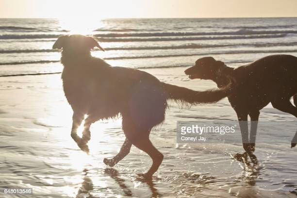 Two dogs splashing in the water at sunset in Wales, UK.