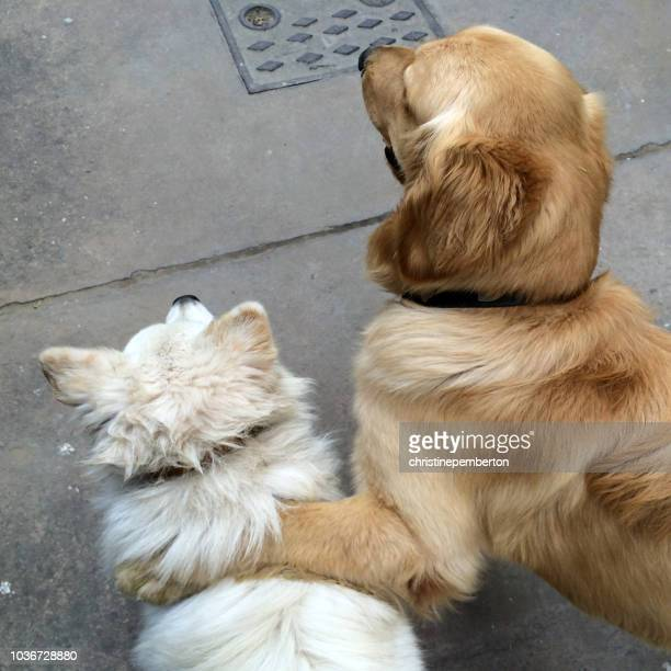 two dogs standing in street, one with paw on top of the other - dos animales fotografías e imágenes de stock