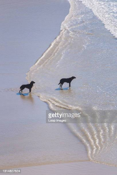 Two dogs standing on the shore looking out to sea as the tide flows in.