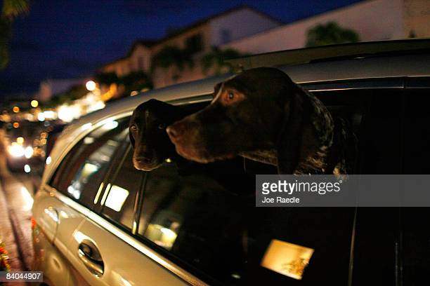 Two dogs stick their head out a car window as they are driven down Worth Avenue the heart of shopping and luxury in the town where Bernard L Madoff...