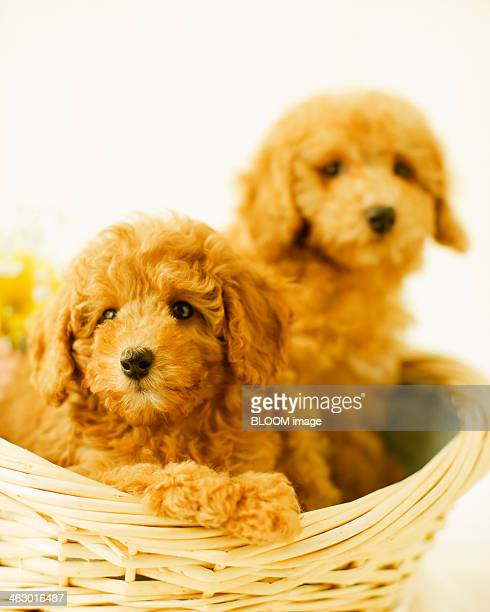 Two Dogs Together In Basket