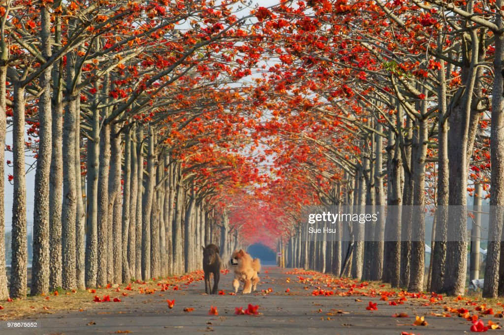 Two dogs walking along a tree-lined path in autumn. : Stock Photo