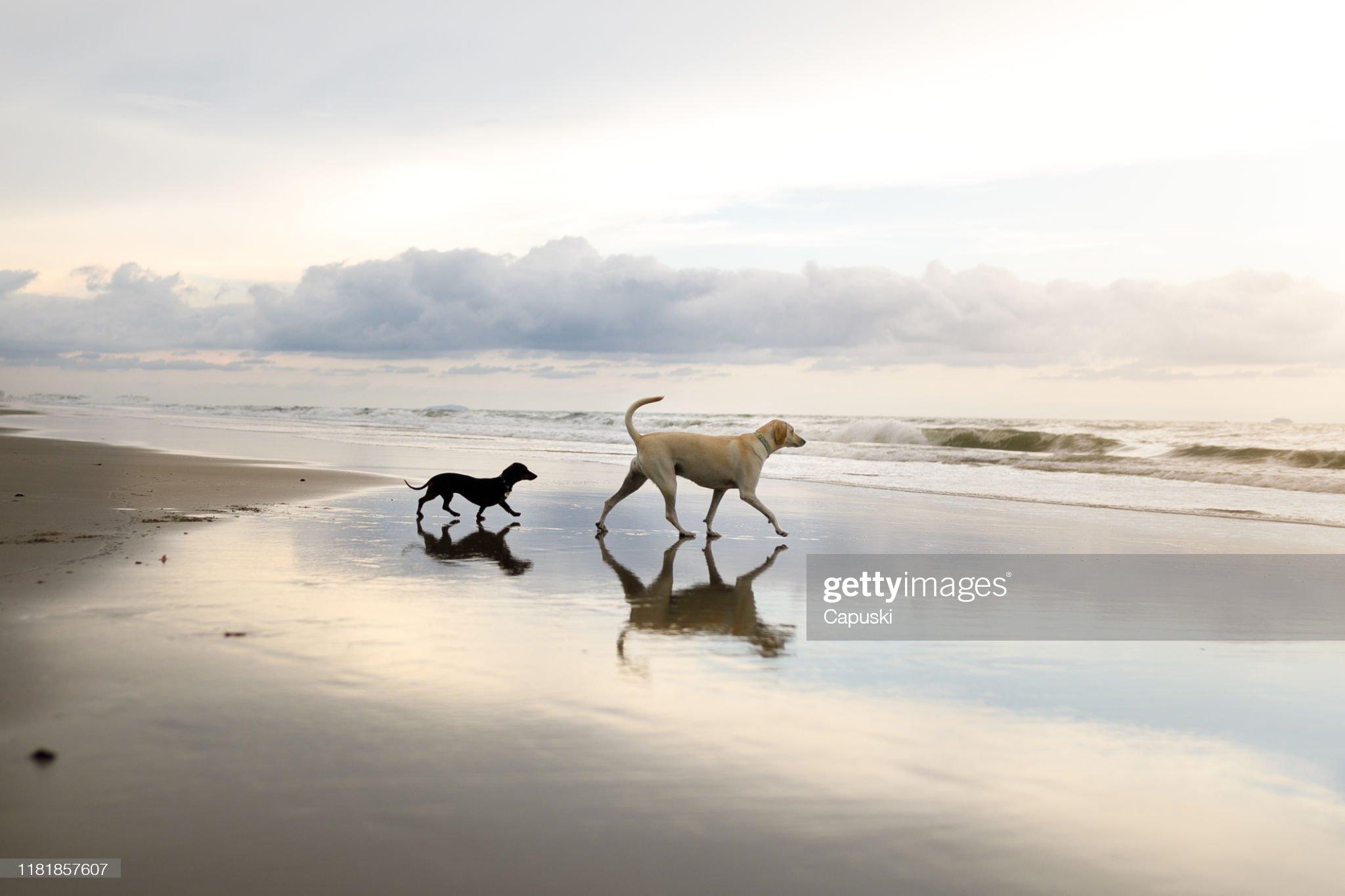 兩只狗在沙灘上行走 : 圖庫照片