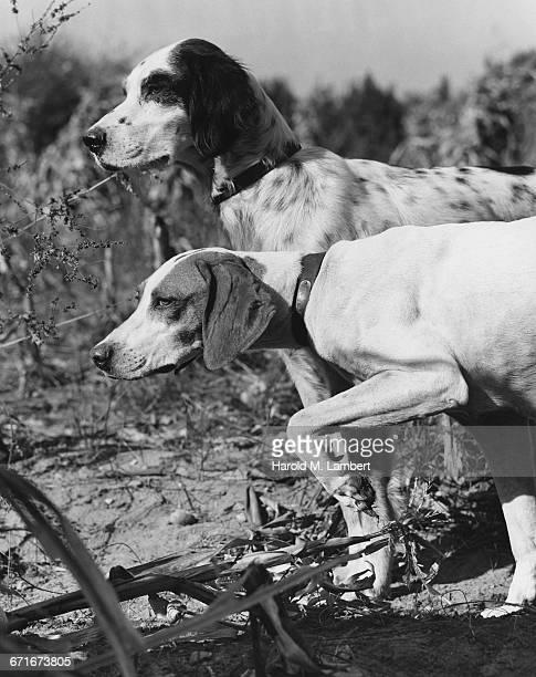 two dogs walking together - mamífero con garras fotografías e imágenes de stock