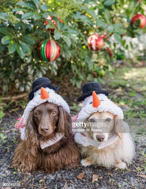 two dogs wearing snowman costumes - dachshund christmas stock pictures, royalty-free photos & images