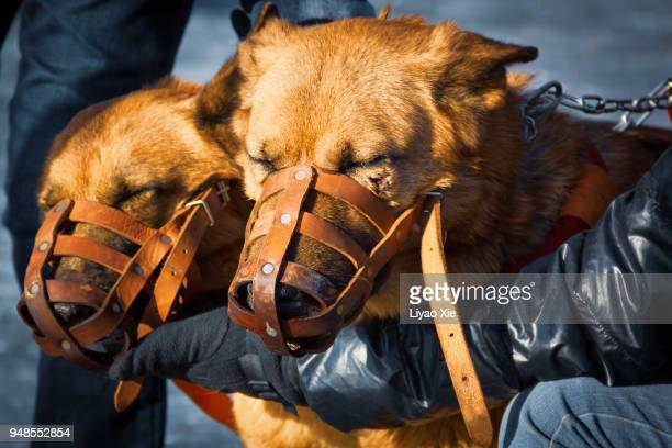 two dogs with snaffles. one get hurt. - glitch art stock-fotos und bilder