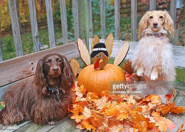 two dogs with turkey pumpkin - funny turkey images stock photos and pictures