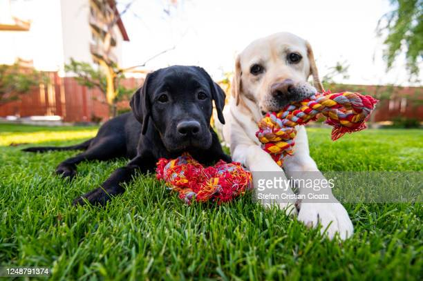 two dogs working and playing together outside - two animals stock pictures, royalty-free photos & images