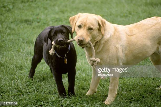 Two dogs w/rope in mouth
