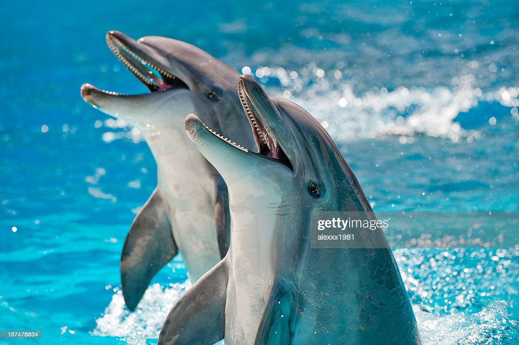 Two Dolphins in a blue water : Stock Photo