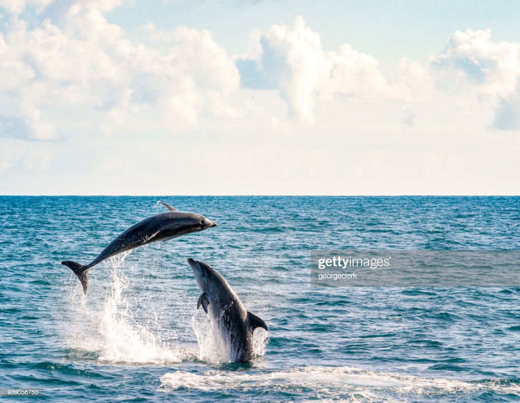 Two dolphins playing : Stock Photo