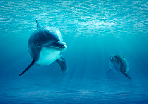 Two Dolphins Under Water 481683922