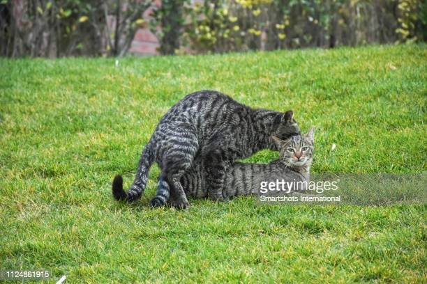 two domestic cats mating on green grass in europe - sex stock photos and pictures