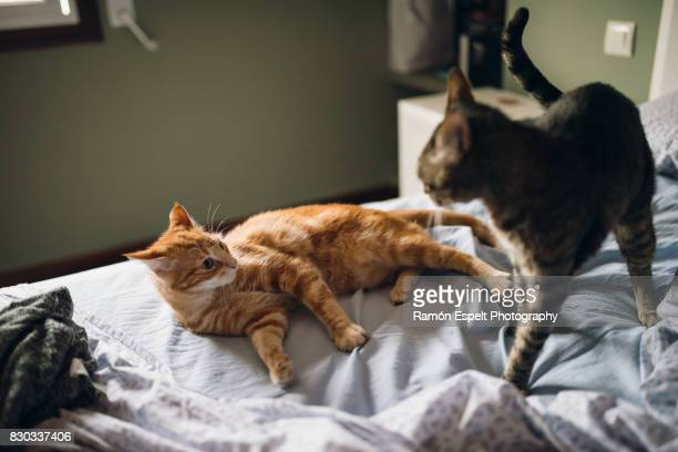 Two domestic cats on a bed