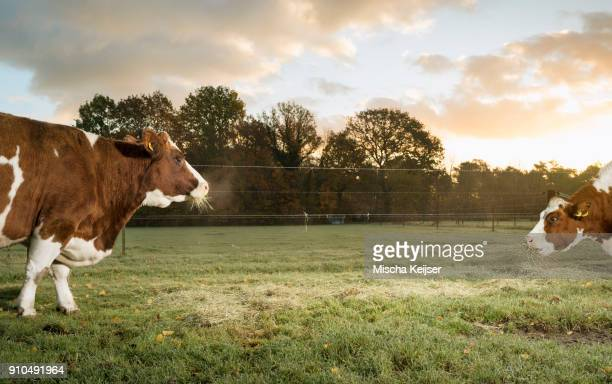 Two domestic cows grazing in field