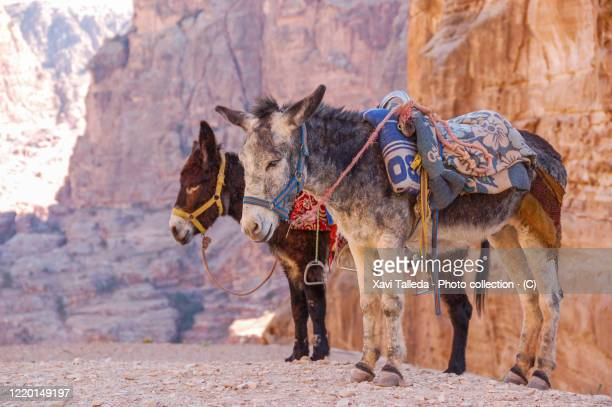 two donkeys by the cliff - letrac stock pictures, royalty-free photos & images