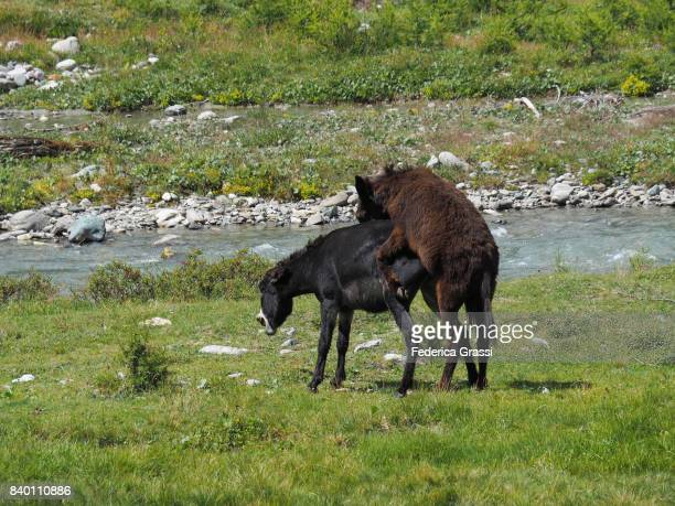 Two Donkeys Mating on Alpine Pasture at Alpe Veglia Natural Park