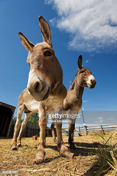 two donkeys - herbivorous stock pictures, royalty-free photos & images