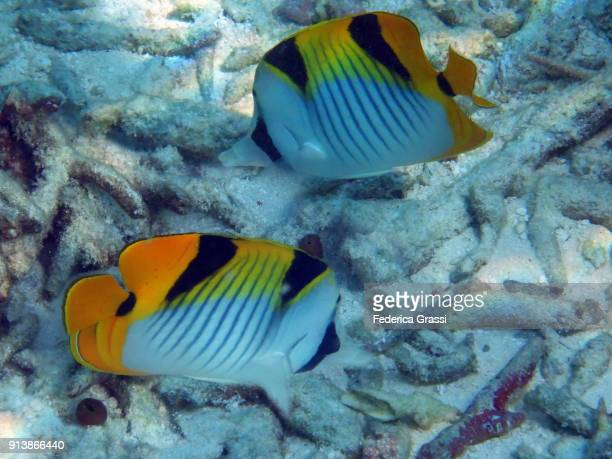 Two Double-saddle (Saddleback) Butterfly Fish (Chaetodon falcula)