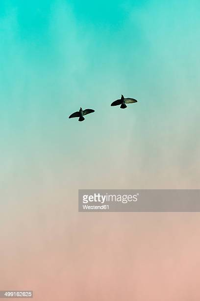 Two doves (Columbidae) flying in front of sky, view from below