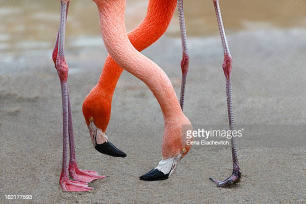 Two down inclined Flamingo necks are crossed