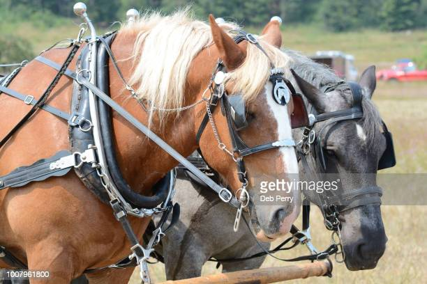 Two draft horses in harness
