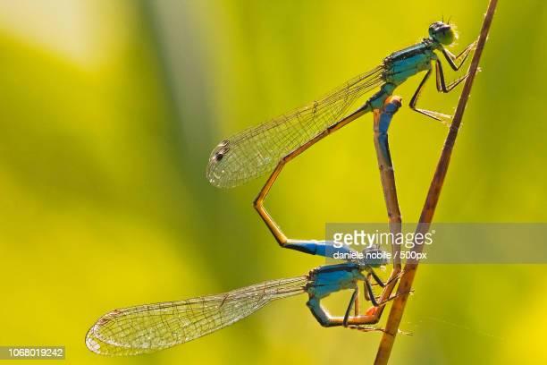 two dragonflies mating - accoppiamento animale foto e immagini stock