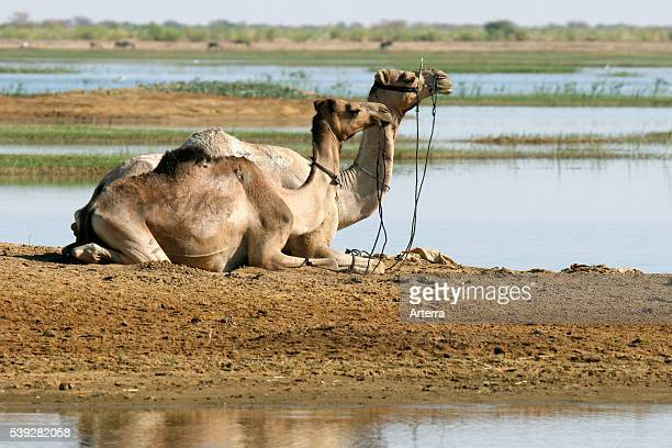 Two dromedary camels resting along the river Niger, Timbuktu, Mali, West Africa.