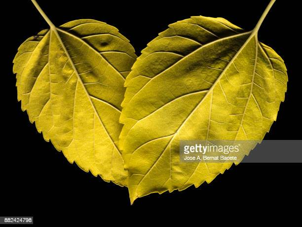 Two dry leaves in autumn of green and yellow color on a black background. Spain