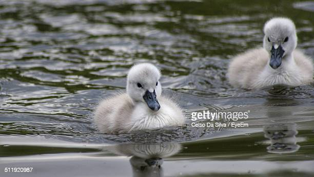 Two ducklings floating on water