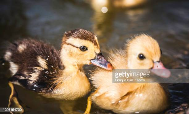 Two Ducklings in Monte Dos Pozos, Galicia, Spain