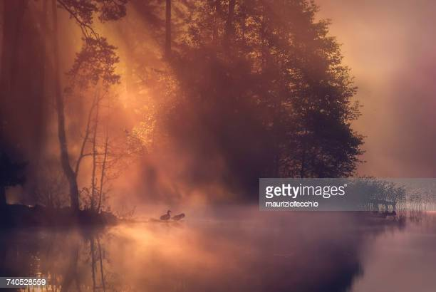two ducks by a lake in mist, veneto, italy - duck bird stock photos and pictures