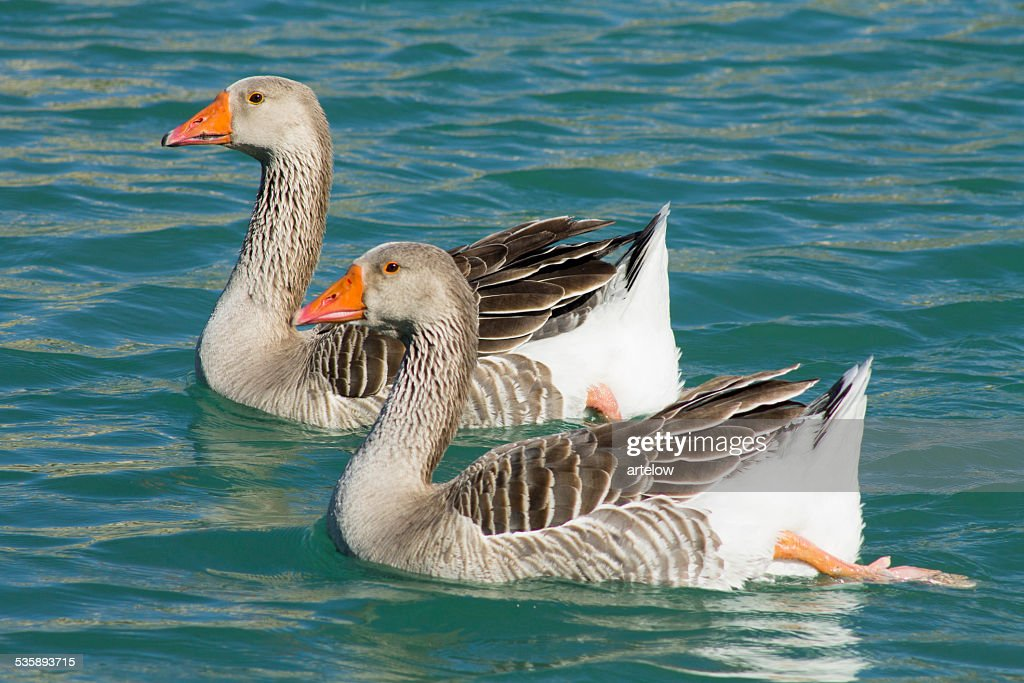 two ducks on the lake : Stock Photo