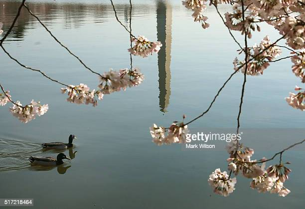 Two ducks paddle by in Tidal Basin where the Cherry Blossoms are blooming March 24 2016 in Washington DC The National Park Service has predicted that...