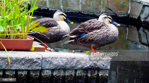 two ducks - mishima city stock photos and pictures