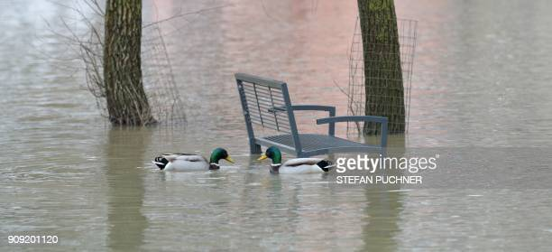 Two ducks swim next to a bench in an area that is flooded after the water level of the river Woernitz has risen due to heavy rains near Harburg...