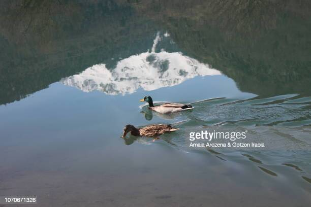 two ducks swimming in the lake. bagnères-de-luchon, france. - バニエールドルション ストックフォトと画像