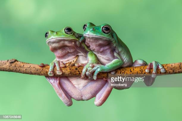 two dumpy tree frogs on a branch, indonesia - two animals stock pictures, royalty-free photos & images