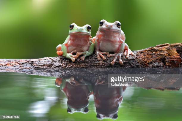 Two dumpy tree frogs sitting on a branch by water