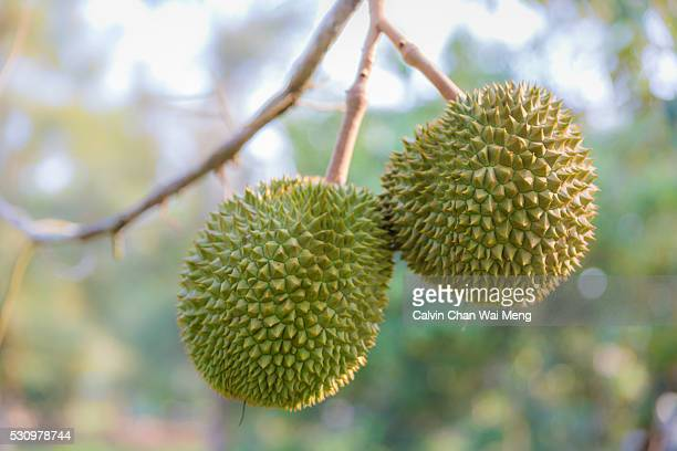 Two durians fruit on its branch