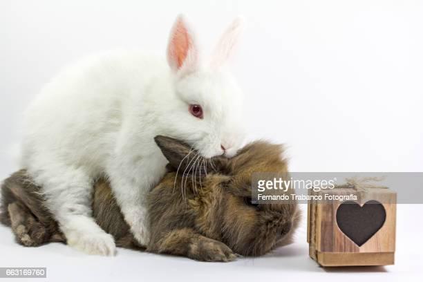 Two dwarf rabbits copulating. Animal sex