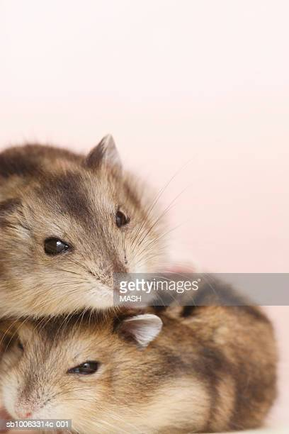 Two Dzhungarian hamsters (Phodopus sungorus), close-up, studio shot