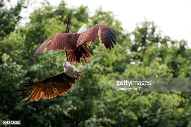 two eagles catching a treat in the midair - harris hawk stock photos and pictures