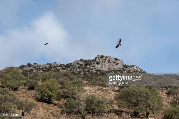two eagles flying over olive trees and rocks - dorte fjalland stock pictures, royalty-free photos & images