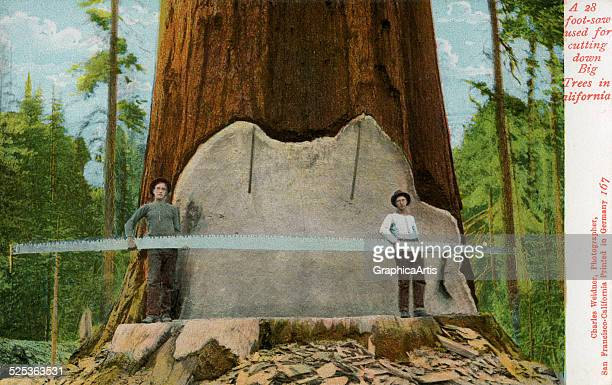 Two early loggers holding their 28foot saw standing in the cut of a huge oldgrowth California redwood tree handcolored photograph 1907